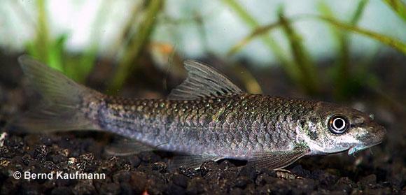 Sera 00940 spirulina tabs 100 ml pflanzenfutter aus for Fische algenfresser teich