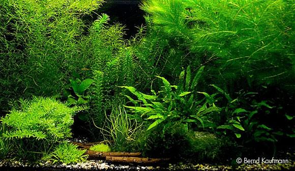 Pflanzen gegen algen aquamax for Algen im aquarium
